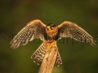 aplomado_falcon