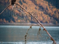 bald-eagle-on-branch