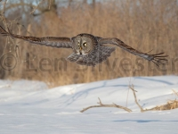 great_gray_owl-143