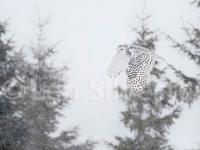 snowy_owl_021212-003