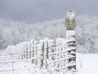 snowy_owl_9953