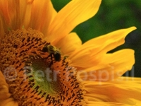 bumblebee-and-sunflowers-065