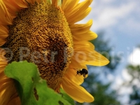 bumblebee-and-sunflowers-066