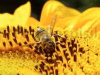 honeybee-and-sunflowers-067