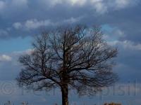 tree-and-cornfield