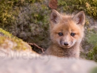 fox-and-kits-9